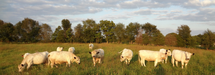 American British White Park Cattle
